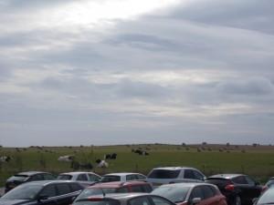מבט מהחניה פרות סקוטיות
