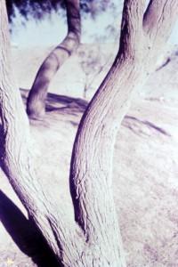 הארי כהן - אשלים בנגב 1961