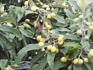 4 הבולבול גומר לאכול את השסק, שימו לב שהגלעין כבר נשמט מהענף